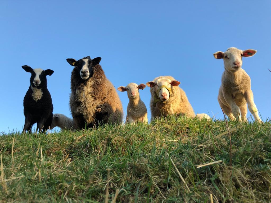 Tierarztparxis Hinterland. Dautphe - Dautphetal. Schafe